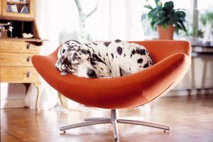Great-Dane-on-a-chair-in-an-apartment