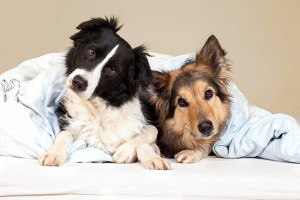 Two-big-dogs-on-an-apartment-bed-600x400